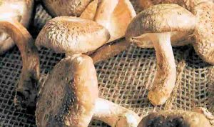 Shiitaké_complement-alimentaire-france.com