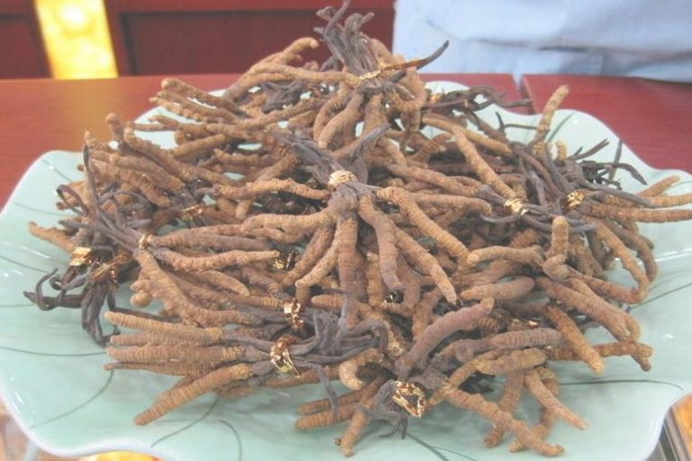 cordyceps sinensis_complement-alimentaire-france.com