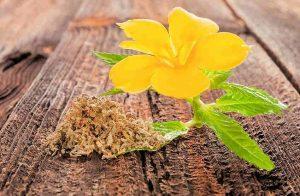plante médicinale et complément alimentaire : damiana