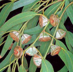 plante médicinale : eucalyptus