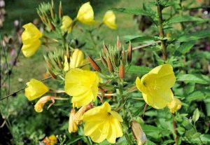 plante médicinale : onagre et huile d'onagre