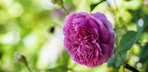 Plante Médicinale en Complément Alimentaire : Rose de Damas