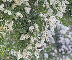plante médicinale : tea tree ou arbre à thé