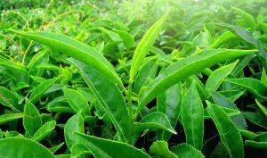 thé vert_complement-alimentaire-france.com