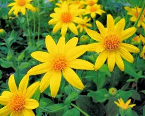 arnica_complement-alimentaire-france.com