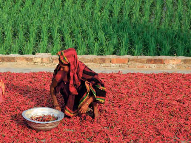récolte piment Inde